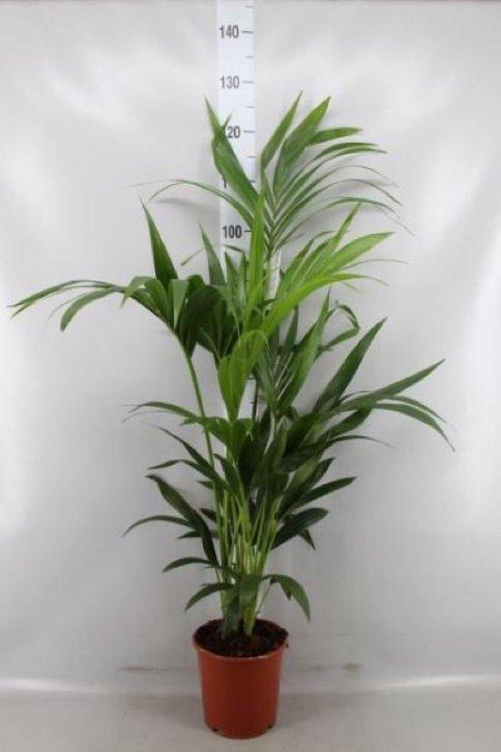 Kentia palm 130cm
