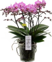 Bellissimo Roze Orchidee Cadeau
