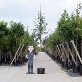 Zomereik - Quercus robur 300 - 400 cm totaalhoogte (10 -14 cm stamomtrek)