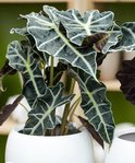 Find the perfect Alocasia Polly for you