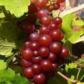 Vitis 'Vanessa'; Totale hoogte 50-70cm incl. Ø15cm pot   Heerlijke, pitarme druif.  Winterhard en resistent tegen Meeldauw
