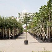 Moeraseik als leiboom - 'Quercus palustris' 200 cm stamhoogte (10 - 14 cm stamomtrek)