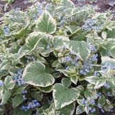 3 x  Brunnera Macrophylla 'Variegata'  - Kaaps-Vergeet-Me-Nietje pot 9x9cm