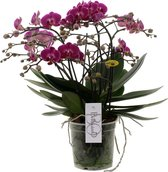Bellissimo Paars Orchidee Cadeau