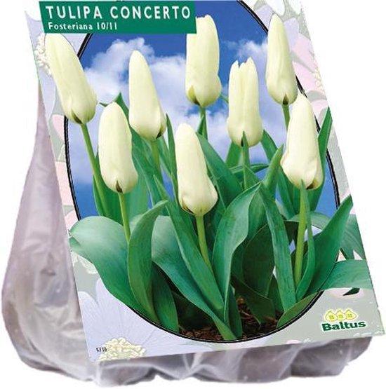 Tulipa (Tulpen) bloembollen - Concerto - 2 x 30 stuks