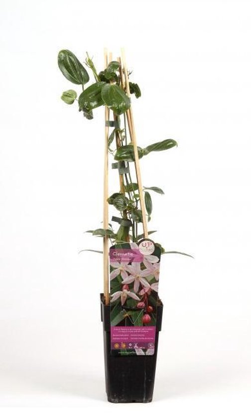ClematisOnline Tuin- en balkonplant Clematis 'Apple Blossom'