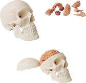 Het menselijk lichaam - anatomie model schedel met hersenen (10-delig)