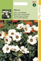 Hortitops Zaden - Hibiscus Trionum