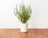 Thyme Refill voor Smart Herb Garden (3-pack)
