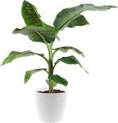 Bananenplant (musa) incl. gratis pot wit