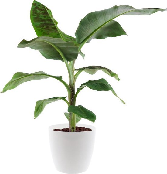 Bananenplant (musa) incl. gratis pot