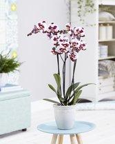 Polly orchidee (Phalaenopsis) - 70cm