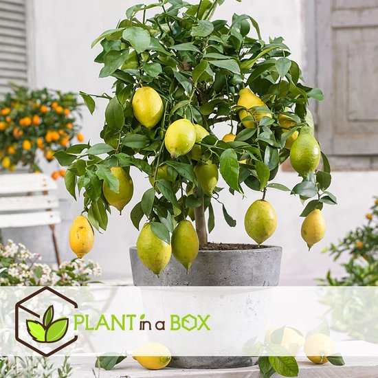 PLANT IN A BOX Citrus Limon - Citroenboom - 1 stuk - Hoogte ↕ 60 - 70 cm