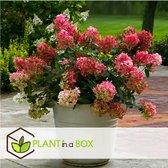 Plant in a Box - Hydrangea 'Wim's Red' - Rode pluim hortensia - Pot ⌀19cm - Hoogte ↕ 25-40cm