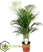 Plant in a Box - Areca Dypsis Lutescens - Goudpalm - Pot ⌀21cm - Hoogte ↕ 100-110cm