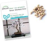 Prunus serrulata zaden - Japanse sierkers