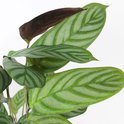 Find the perfect Calathea for you on Bol.com