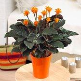 Calathea 'Crocata' - Luchtzuiverende Calathea - ↑ 40-50cm - Ø 14cm