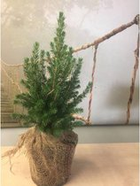 Picea glauca 'Conica' - Dwergspar 15-25cm - Met jute om kluit