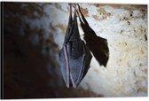 Dibond –Slapende Vleermuis– 60x40 Foto op Aluminium (Wanddecoratie van metaal)
