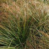 100 x Carex testacea 'Prairie Fire'- Oranje zegge in 9x9cm pot met hoogte 5-10cm (stukprijs €2,00)
