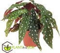 Find the perfect Begonia Maculata for you on Bol.com