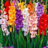 100x Gladiolus - Gladiolen bloembollen mix - Mix voor tuin en balkon - 100 stuks - Omtrek 6 cm