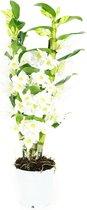 Orchidee van Botanicly – Bamboe Orchidee – Hoogte: 60 cm, 2 takken, witte bloemen – Dendrobium Nobile Apollon
