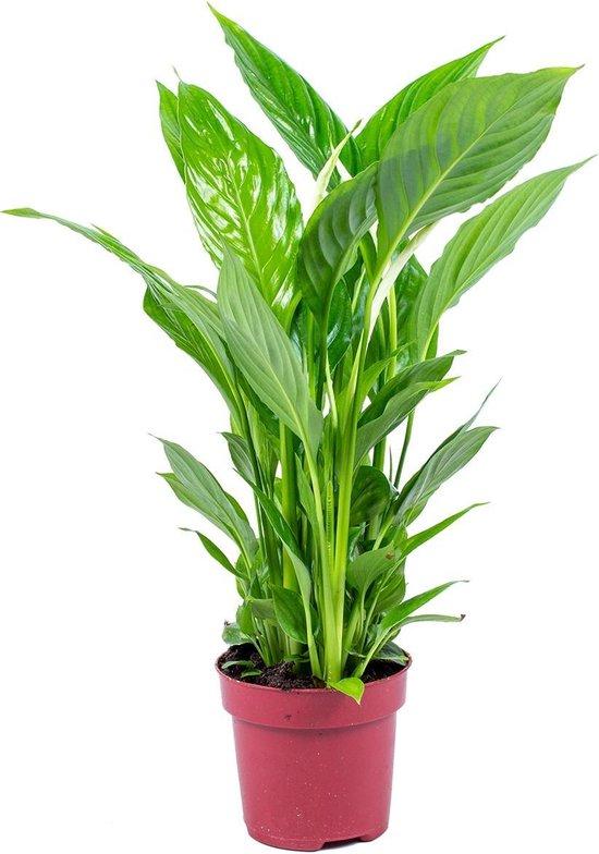 Lepelplant | Spathiphyllum 'Strauss' per stuk - Kamerplant in kwekerspot ⌀12 cm - ↕45 cm