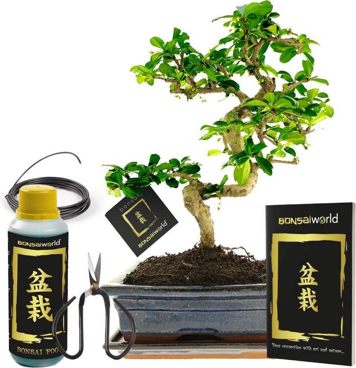 Bonsaiworld Bonsai Boom XL - 6-Delige Set - 12 jaar oud -    30-35 cm
