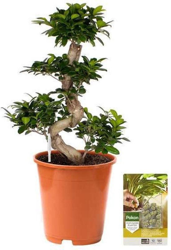 Pokon® Ficus Bonsai / Chinese Vijg incl. watermeter en voeding - hoogte ↕70 cm
