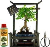 Bonsaiworld Bonsai Geschenkset - 8 jaar oud - 26 x 15 x 34 cm