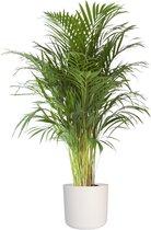 Goudpalm in ® ELHO b.for soft sierpot ↨ 110cm - planten - binnenplanten - buitenplanten - tuinplanten - potplanten - hangplanten - plantenbak - bomen - plantenspuit