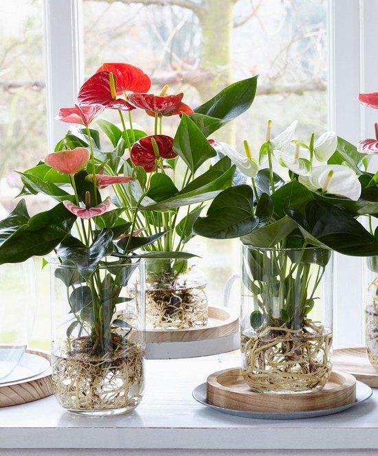 Anthurium andreanum - Flamingoplant wit - Incl. glazen vaas - ↑ 40-45cm - Ø 12cm