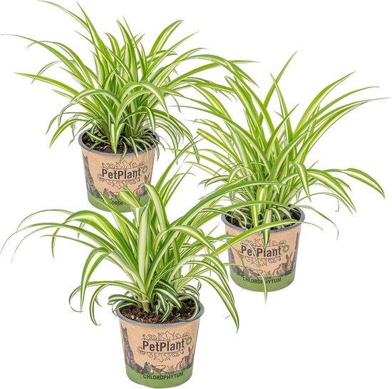 Graslelie   Chlorophytum 'Variegatum' per 3 stuks - PetFriendly - Kamerplant ⌀12 cm - ↕25 cm