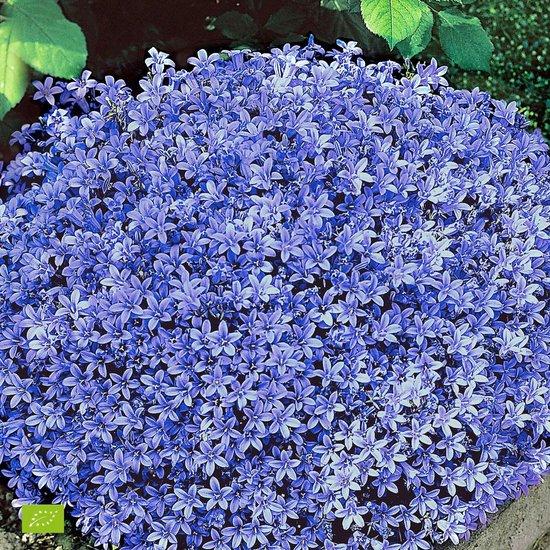 Campanula Portenschlagiana - Klokjesbloem paars blauw - ↑ 10-15cm - Ø 12,5cm