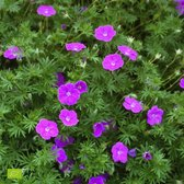 Geranium sanguineum - Bloedooievaarsbek paars - ↑ 25-35cm - Ø 12,5cm