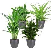 Mix van 4 luchtzuiverende kamerplanten | Areca - Neprolepis - Spathiphyllum - Chlorophytum | Incl.  sierpot donker - ↑ 25-30cm - Ø 12cm