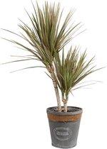 Kamerplant van Hellogreen - Dracaena Drakenbloedboom Marginata Bicolour- Hoogte: 75cm - in grijze chipwood pot