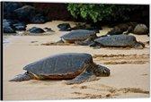 Dibond –Schildpadden op het Strand– 150x100 Foto op Aluminium (Wanddecoratie van metaal)