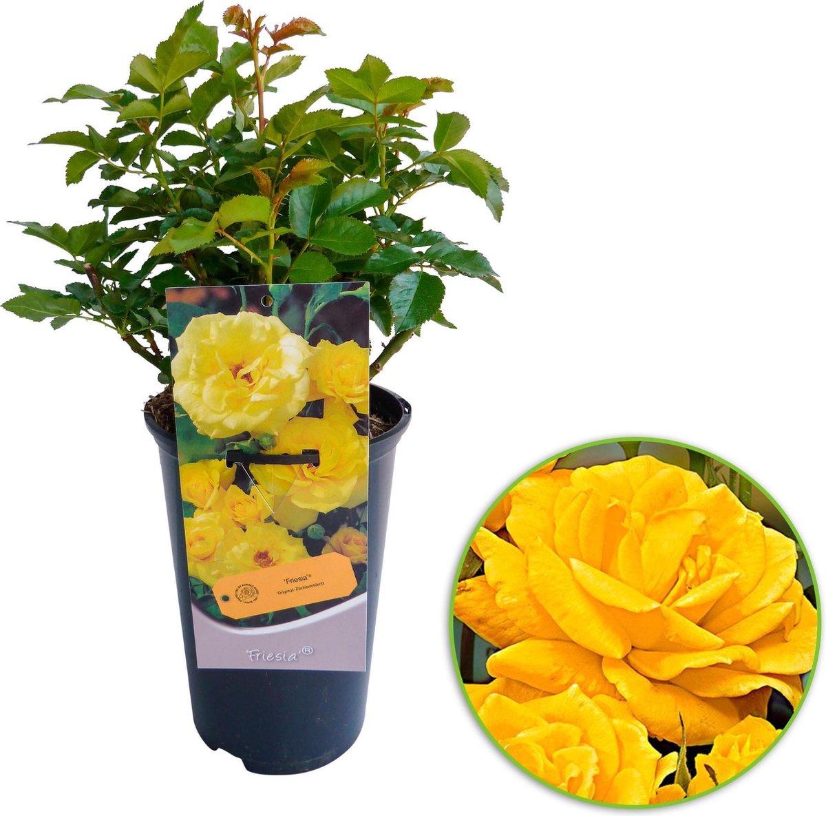 Rosa 'Friesia'  - Grootbloemige roos op pot - Geel - ↑ 35-40cm - Ø 17cm