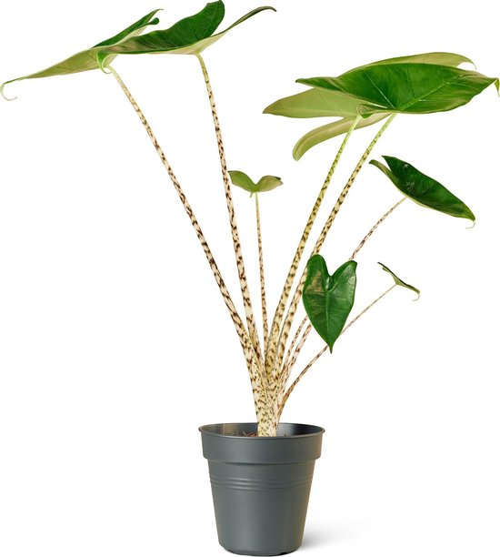 Olifantsoor (Alocasia Zebrina) Kamerplant - Klein - Hoogte 45cm - Potmaat 14cm - Plantery