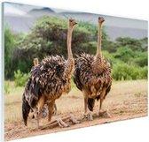 Vrouwelijke struisvogels Glas 180x120 cm - Foto print op Glas (Plexiglas wanddecoratie) XXL / Groot formaat!