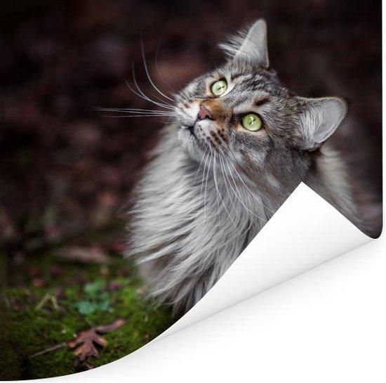 Een grijze Maine Coon kat Poster 100x100 cm - Foto print op Poster (wanddecoratie woonkamer / slaapkamer) / Huisdieren Poster