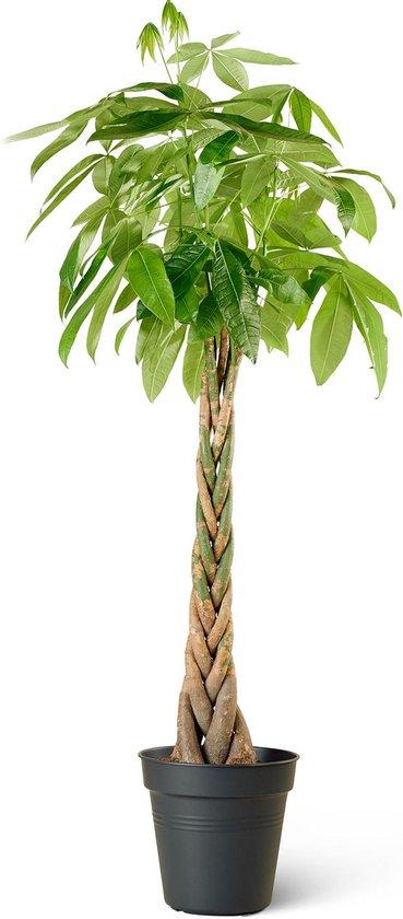 Geldboom (Pachira Aquatica) - Groot - Hoogte 150cm - Potmaat 27cm - Plantery