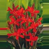 Canna - Bloemriet rood - ↑ 25-35cm - Ø 18cm