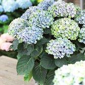 Hydrangea Magical 'Revolution Blue' - Hortensia blauw-groen - ↑ 15-20cm - Ø 12cm