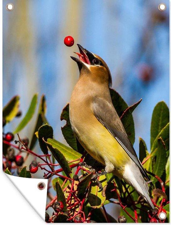 Een cederpestvogel speelt met een rode bes tuinposter 60x80 cm - Tuindoek / Buitencanvas / Schilderijen voor buiten (tuin decoratie)