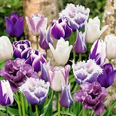15x Tulipa 'Paradise' - Tulpen - Paarse mix - Winterhard - Vroegbloeiers - 15 bloembollen Ø 11-12cm