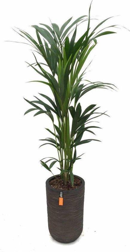 Palm Kentia in stoere pot | Hoogte 140cm